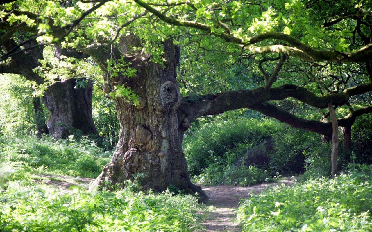 Tree of the Month- The Birnam Oak