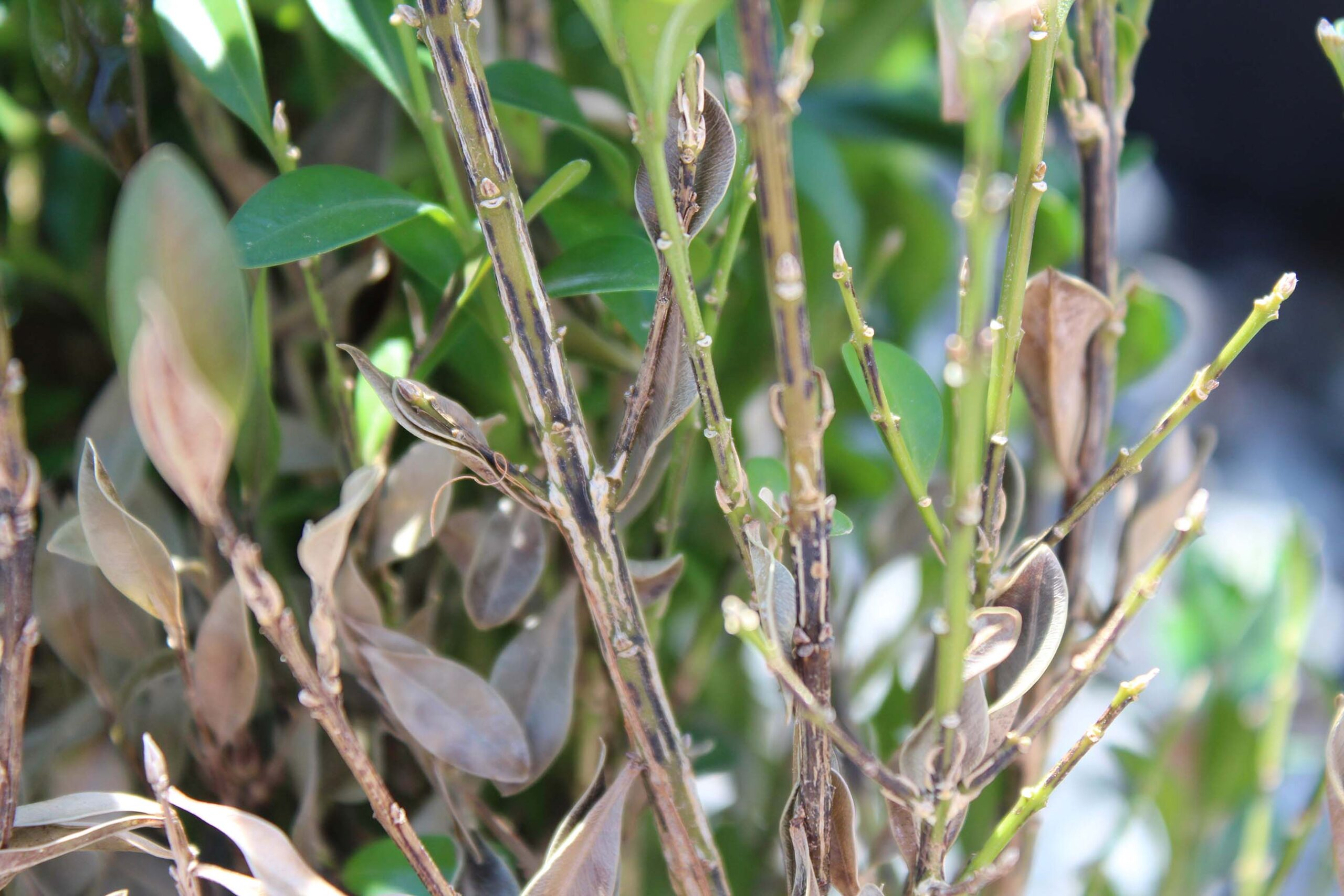 Boxwood Blight- What You Need To Know