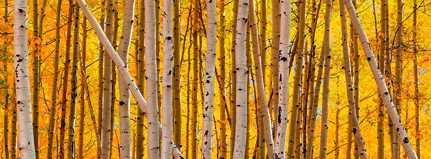 Tree of the Month- Quaking Aspen