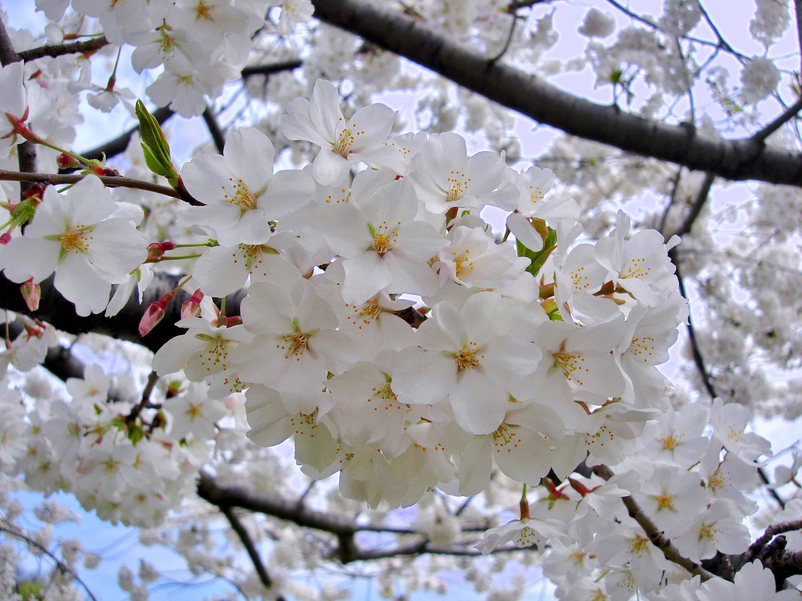 Tree of the Month- Yoshino Cherry