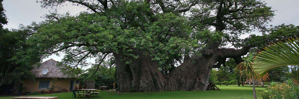 Tree of the Month- The Sunland Baobab