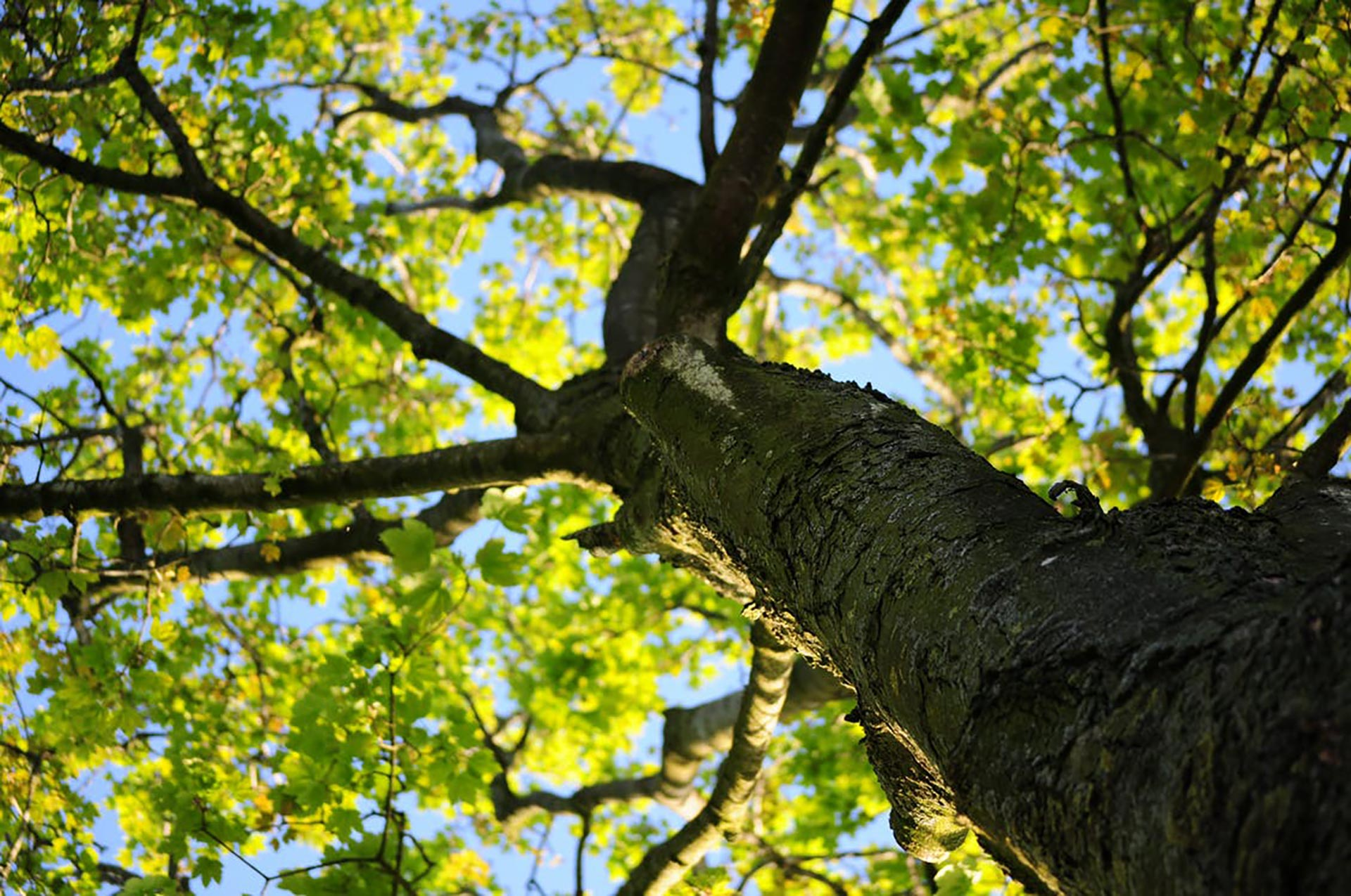 Pest Alert: Crape Myrtle Bark Scale