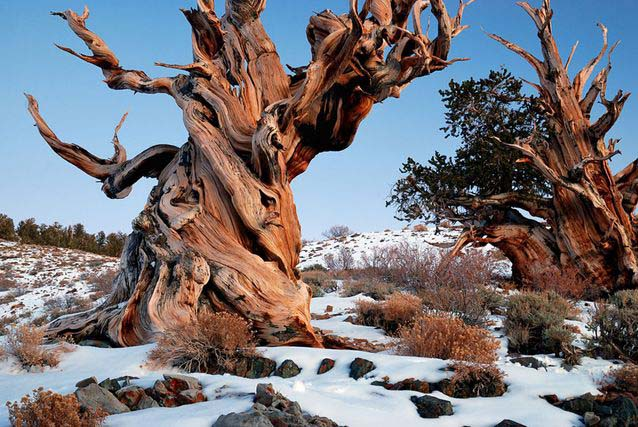 Tree of the Month- The Bristlecone Pine