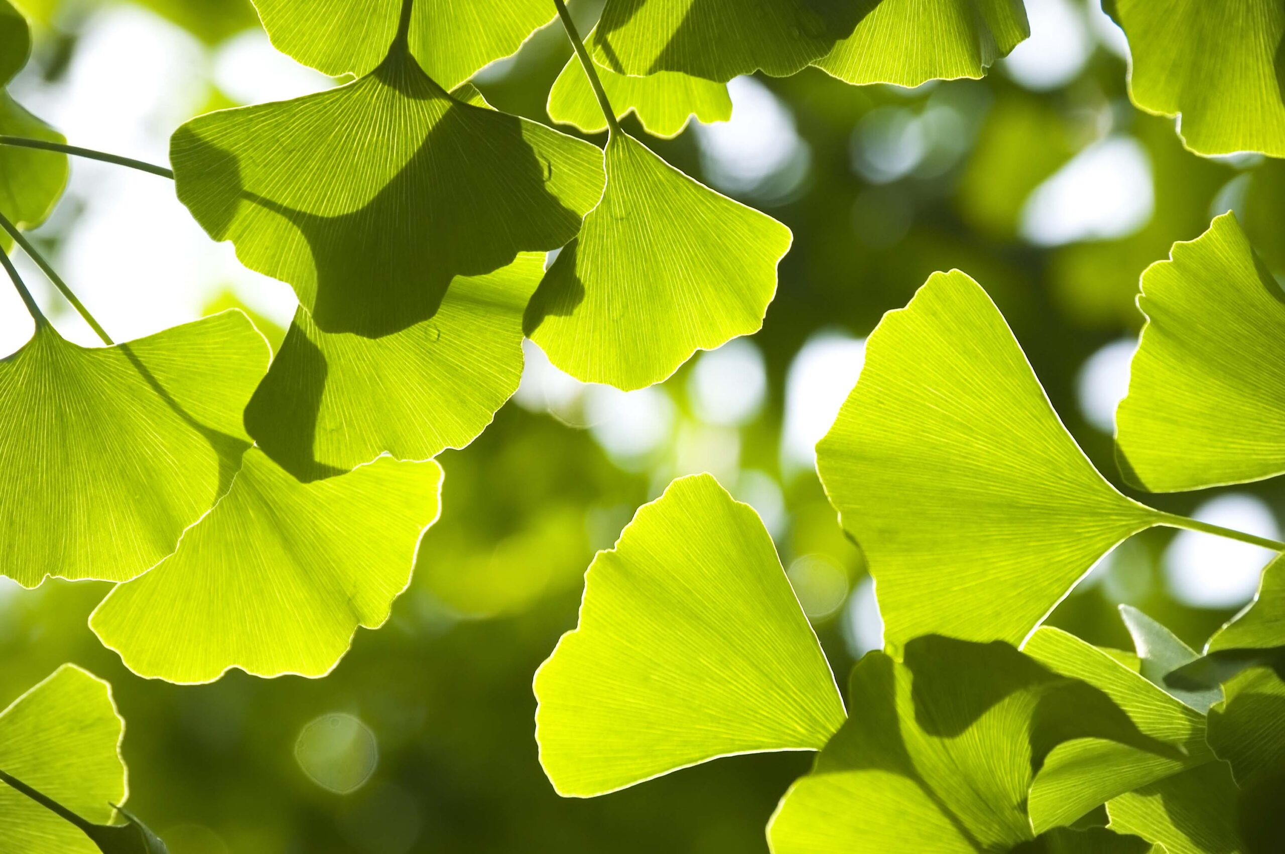 Tree of the Month- Ginkgo