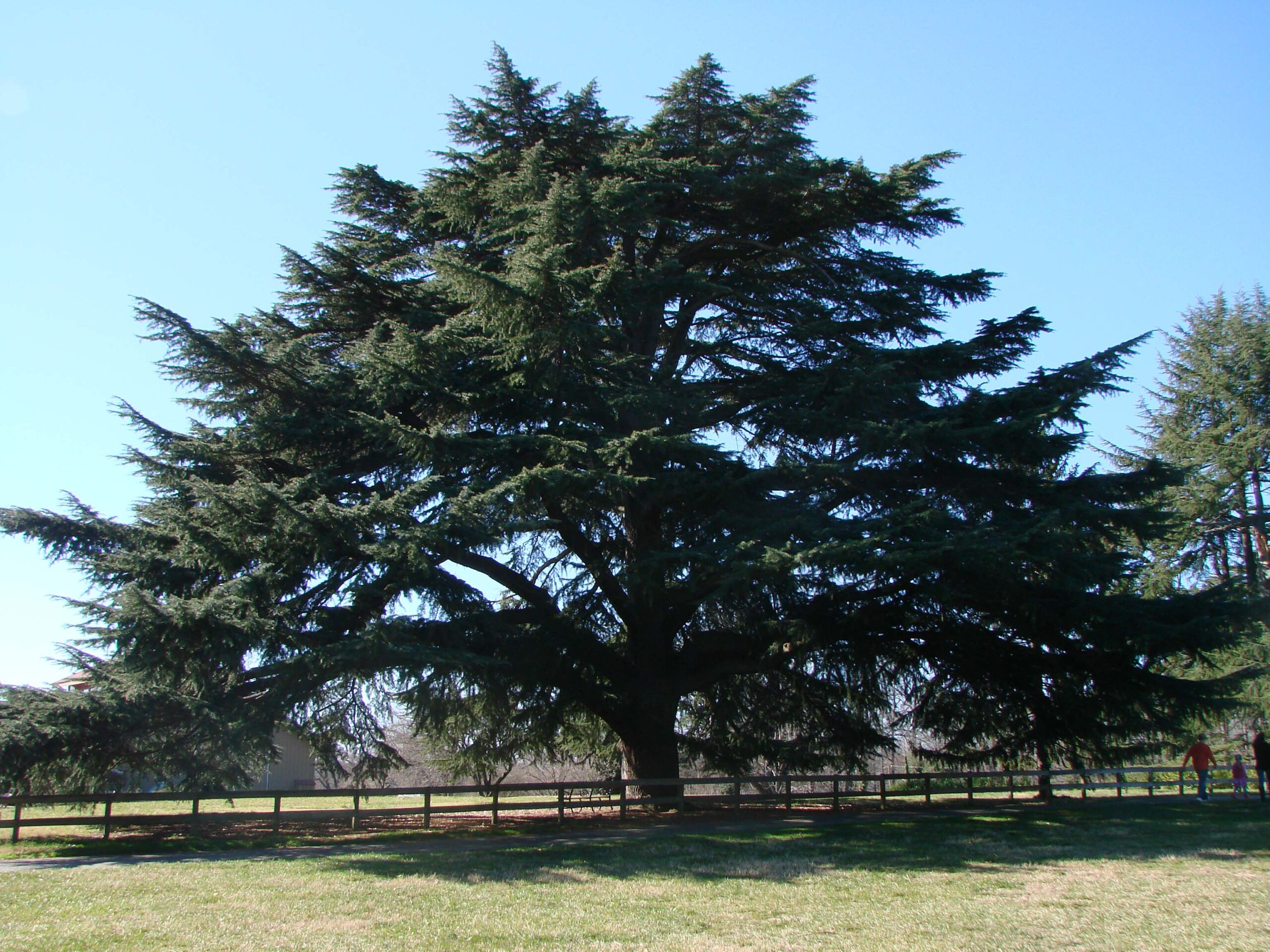 Tree of the Month- Deodar Cedar