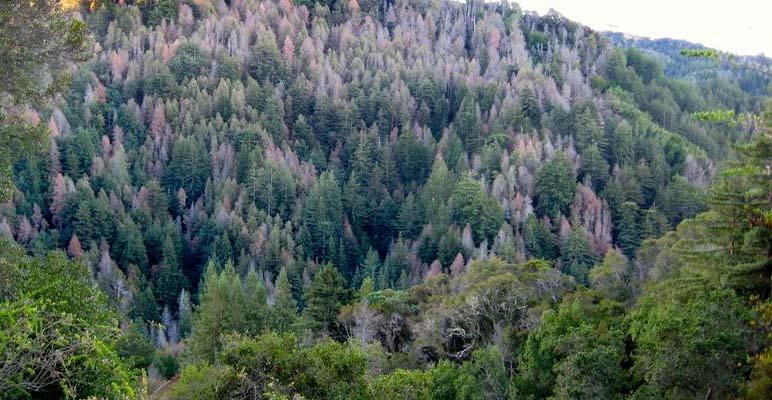 Sudden Oak Death: The Disease that Took California's Oaks